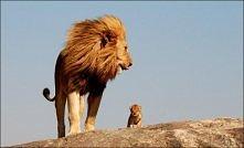król lew...