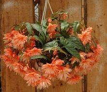 begonia belleconia soft orange.  Begonie mają kwiaty męskie i żeńskie. Kwiaty...
