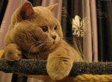 Kot brytyjski  *____* #marzenia