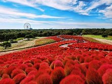 Hitachi Seaside Park w Japo...