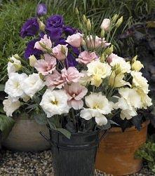 Eustoma - piękny i wbrew pozorom trwały kwiat.