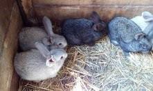 kto lubi króliczki