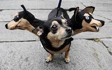 Grrroźny Cerber :) świetne przebranie na halloween dla pupila :)