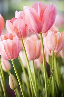 kocham tulipany :)
