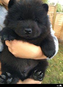 Jest to pies czy miś . xd