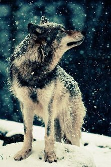 Piękny wilczuś. :3