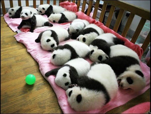 Znalezione obrazy dla zapytania pies panda