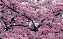 Chciałabym takie drzewo w swoim ogrodzie ^^