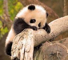 Mała słodka panda