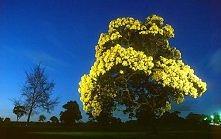 Cała w złocie-acacia pycnantha