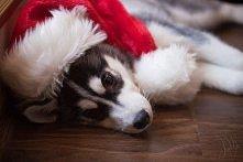 Świąteczny husky