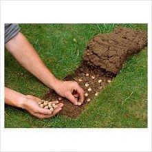 zasadzamy cebulki na trawniku. wycinamy kawałek nożem i lekko podważamy a później wystarczy przykryć z powrotem i lekko ugnieść.