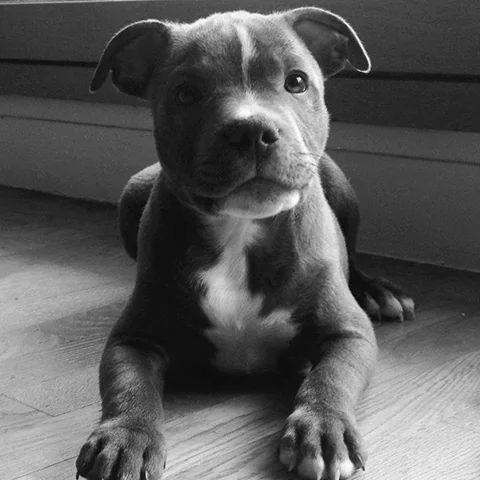 American Pitbull Terrier <3
