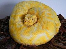 Tort- wąż