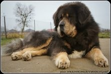Mastif tybetański :D