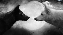 Biały i czarny wilk.