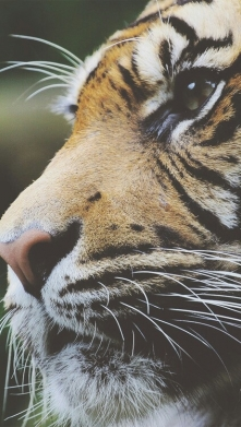 Tygrys ♥