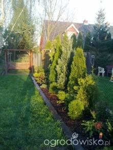 tuje przy ogrodzeniu