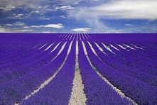 Fields of lavender in Prove...