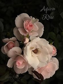 """""""Aspirin Rose"""""""