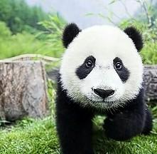 słodka pandka ❤