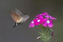 Ćma, która zachowaniem przypomina kolibra, bo spija nektar z kielicha kwiatów za pomocą ssawki, unosząc się w powietrzu.