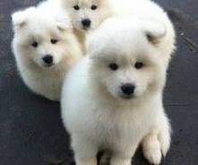 białe malamuty <3 cudowne *,*