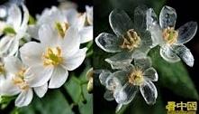Parasolnik (Diphylleia gray...