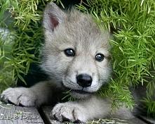 mały wilczek :*