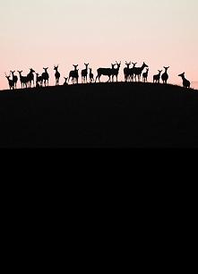 jelenie i sarny  o wschodzie słońca
