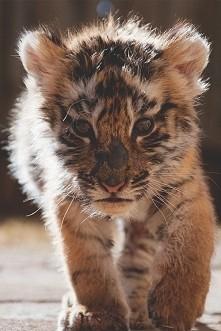 ♥ słodki tygrysek ♥