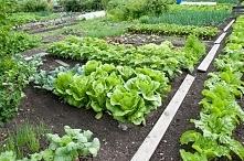 Zakładamy warzywniak