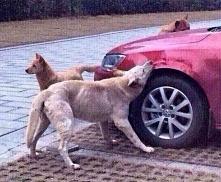 Kopnięty pies zemścił się na kierowcy. Karma zawsze wraca!