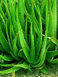 Aloes - Niepozorna roślina,...