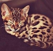 mały gepardzik