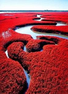 Czerwona Plaża, Panjin, Chiny