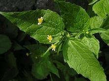 Żółtnica drobnokwiatowa.