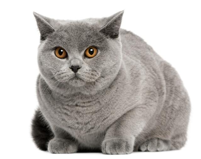 Kot Angielski Na Jeżo Zwierze Zszywkapl