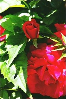 róże - ogród Botaniczny Wrocław