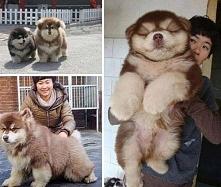 Chow Chow + Husky = Chusky ;) ;-D *-*
