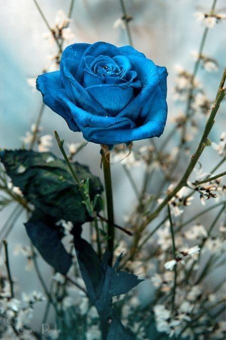 f2e9ae7233ebcd niebieskie róże są piękne. Szkoda że nie rosną naturalnie tylko.. na ...