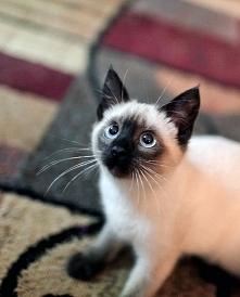Piękny kot syjamski ,#