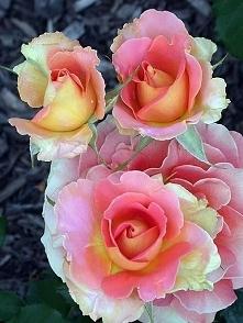 ktoś widział takie róże w rzeczywistości????
