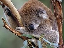 Śpiący koala.