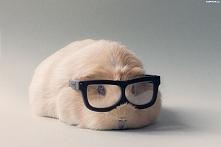 Świnka morska z okularami.