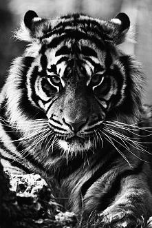 Tygrys *-*