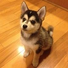 Pomeranian Husky :)