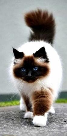 himalajski kot - krzyżówka kota perskiego i syjamskiego