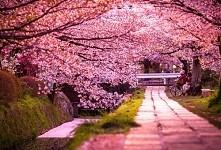Japonia, sakura - kwiaty wiśni