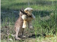 To mały osierocony kangurek, ktory przytula sie do misia *.* <3